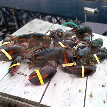 4 Live Lobsters