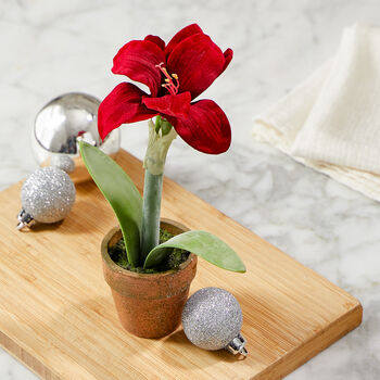 Potted Red Amaryllis Flower
